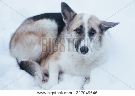 Homeless Lonely Sad Dog Lying In The Snow For Any Purpose