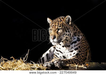 Wild Leopard Lying Relaxed