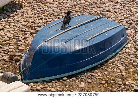 Raven Walking On A Boat In Budleigh Salterton, Jurassic Coast, Devon, Uk