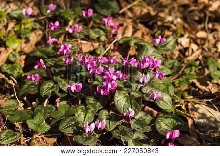 Cyclamen Spring Blooming , Boxwood Grove, Sochi Russia. Rare Flowers From The Red Book.