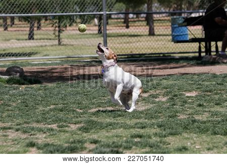 Mixed Breed Dog Catching A Ball In Mid-air At The Park