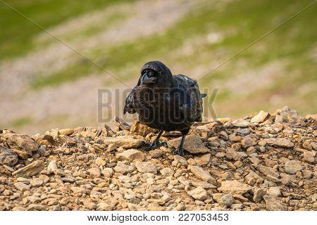 A Black Raven On The Llanberis Path, Snowdonia, Gwynedd, Wales, Uk
