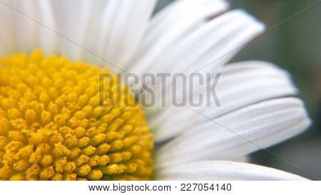 Flower Natural Blooming Chamomile Natural Beauty Of The Forest Macro Photography Close-up Of Blurred
