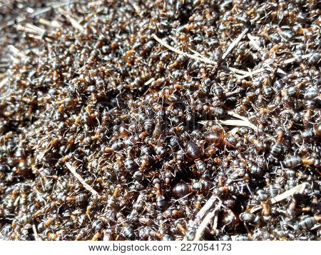 Background Ants Colony A Large Crowd Of Natural Insects Working Group