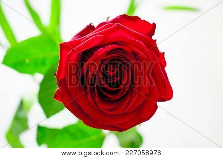 Red Rose. Beautiful Rose For Girlfriend. Red Rose For Background.