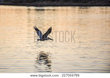 Brown Pelican And His Reflection Flying Across Marina Ocean Waters During The Golden Hour Of The Mor