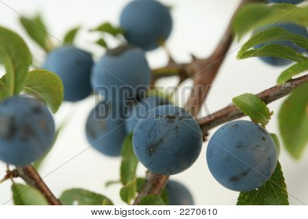 Sloe Berries From The Blackthorne Bush