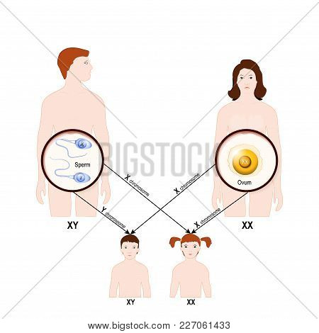 Genetic Inheritance. Sex Determination In Humans. X And Y Chromosome