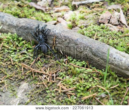A Black Trapdoor Spider With Silver Bands On Its Legs, Climbing Over Obstacles On The Forest Floor.