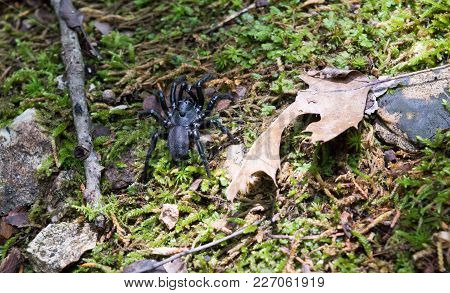 A Black Trapdoor Spider With Silver Bands On Its Legs, Standing On A Forest Floor.