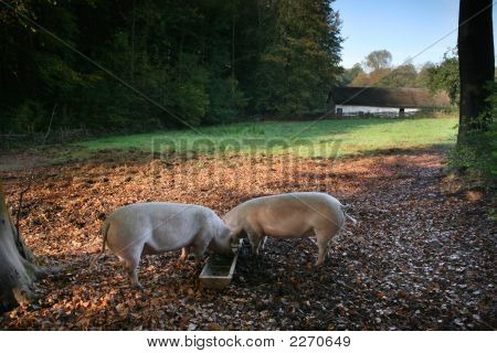 Pigs Feed In A Old Rural Scene With Woods And Thatched Building
