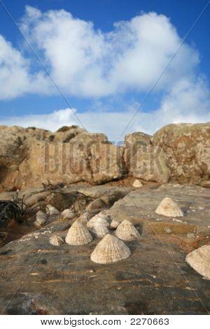 Lipmets Cling To Rocks On An Atlantic Beach