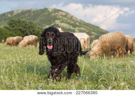 Beautiful Black Cocker Spaniel Walking On The Grass In A Field Through Sheep, Dobrogea, Romania