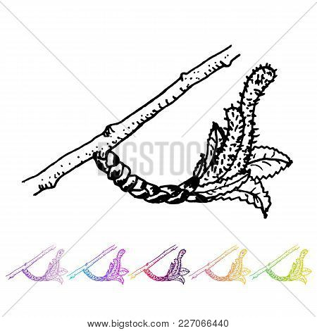 Vector Kidney Bud With Leaves Black Pattern In The Plant Design. Hand Painted Spring Garden Flora. B