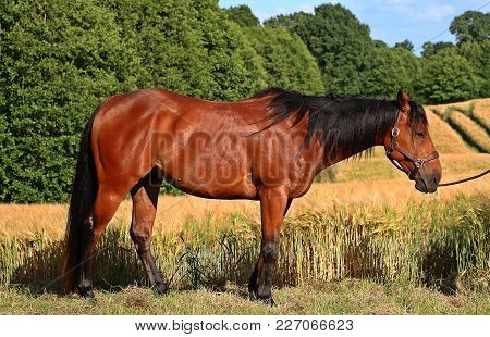 Brown Quarter Horse Is Standing In Beautiful Nature