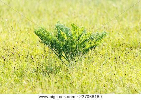 Green Carrot Tops In The Wilderness On The Nature .