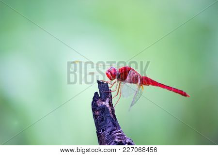 A Dragonfly Is An Insect Belonging To The Order Odonata, Infraorder Anisoptera. Adult Dragonflies Ar