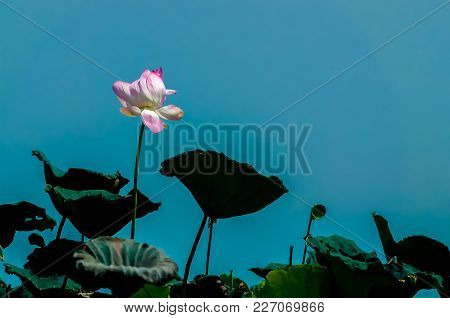 Bright Pink Lotus On Long Stem With Dark Shadowed Leaves Silhouette Against Dimmed Blue Sky. Worm Vi