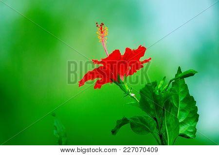 Hibiscus Is A Genus Of Flowering Plants In The Mallow Family, Malvaceae. The Genus Is Quite Large, C