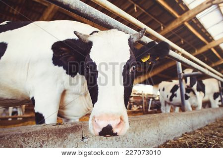 Cow Farm Concept Of Agriculture, Agriculture And Livestock - A Herd Of Cows Who Use Hay In A Barn On