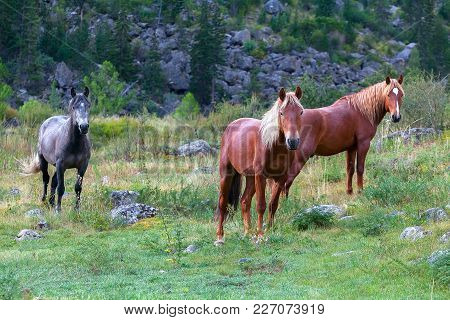 Three Young Horses In The Pasture Posing For The Camera Camera. Wild Mountain Nature And Green Grass