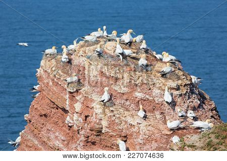 Northern Gannets In Breeding Colony At Cliffs Of Helgoland Island, Germany