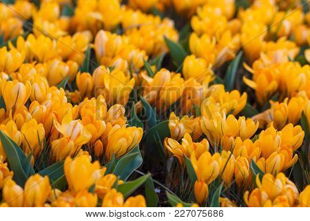 Beautiful Blooming Yellow Crocus Flowers, Crocus Sativus