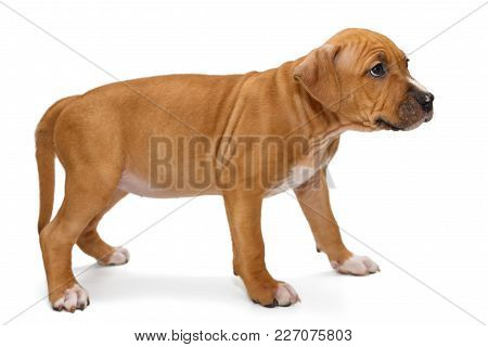 Small Orange Puppy Staffordshire Terrier, Isolated On White Background