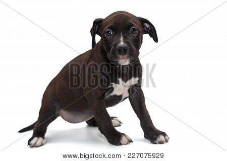 Small Black Staffordshire Terrier Puppy Isolated On White