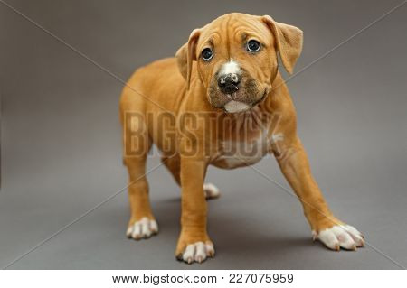 Little Puppy Staffordshire Terrier On A Gray Background