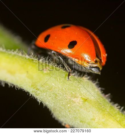 Ladybug On A Plant In The Nature .