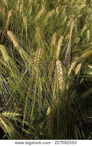 Wheat Field. Rural Scenery Under Shining Sunlight. Background Of Ripening Ears Of Meadow Wheat Field