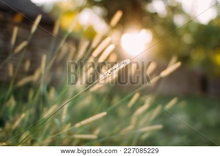 A Blade Of Grass In The Sunset. Autumn Background
