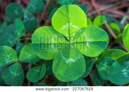 Horizontal Closeup Of A Backlit Bright Green 4-leaf Clover With A Background Of Other Clovers And Br