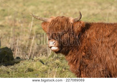 Close up shoot of a highland cattle taken in Scotland