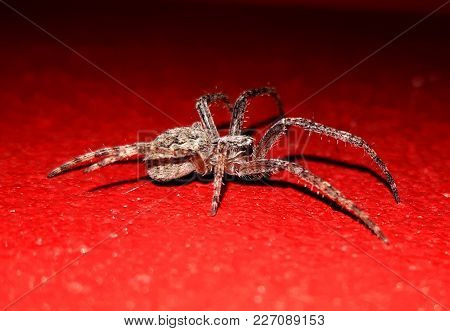 Spider On Textured, Red Surface Close Up