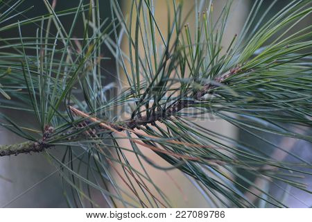 A close up of a scots pine tree showing the needles coming out from the branch