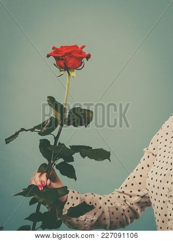 Gifts And Love Symbols. Date And Valentines Day. Delicate Female Hand Holding Red Single Rose Flower