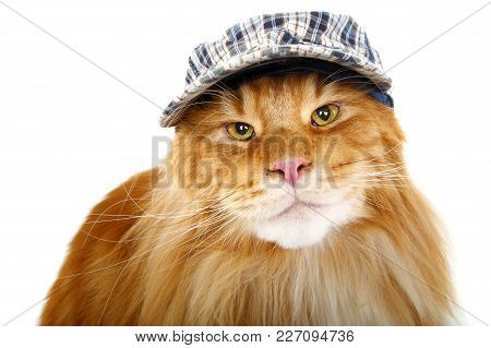 Beautiful Ginger Maine Coon Cat Wearing Checked Cap Isolated On White Background. Copy Space. Studio