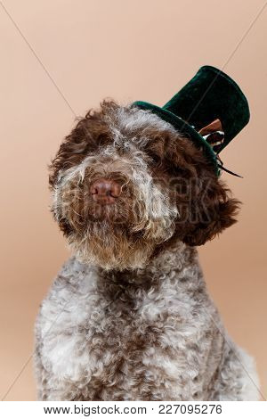 Beautiful Fluffy Lagotto Romagnolo Puppy Dog In Green High Hat. Studio Shot On Brown Background. Cop