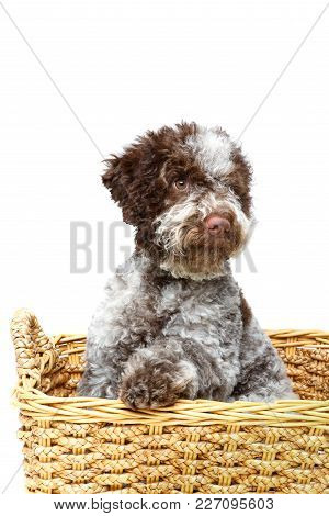 Beautiful Fluffy Lagotto Romagnolo Puppy Dog In Basket. Studio Shot Isolated On White Background. Co