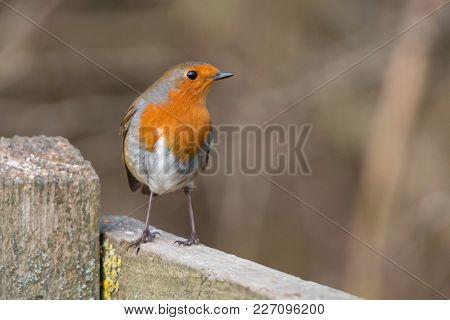 Robin Bird. Erithacus Rubecula Sitting On The Perch.