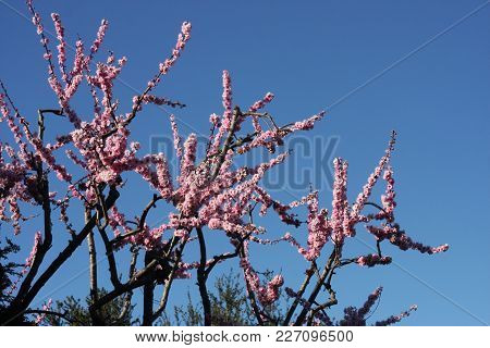 This Is An Image Of Early Spring Plum Tree Blossoms Taken In Full Sun In Carmel, California.