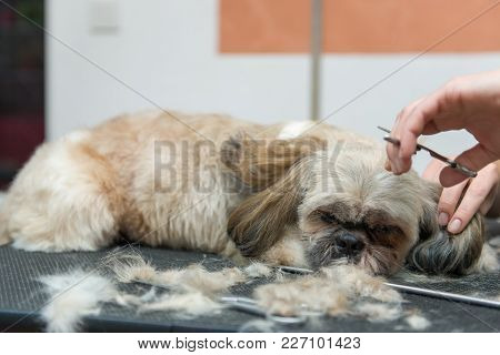 Grooming Dogs Of Shih Tzu Breed In A Professional Salon. Pet Grooming In The Cabin.