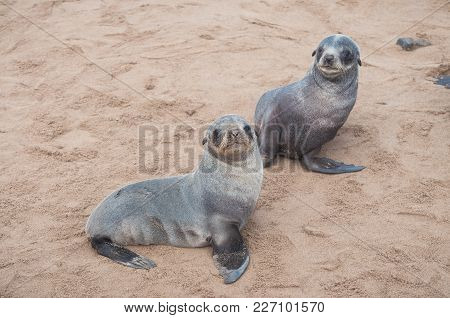 Two Small Lion Seal Babies In Colony Of Wild Seals On Atlantic Ocean Cost In Namibia