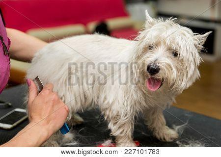 Dog West Highland White Terrier Grooming. Dog Grooming. Master Shear White Terrier Dog.