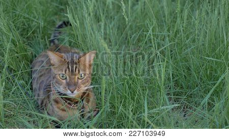 Bengal Cat Walks In The Grass. He Shows Different Emotions. Predator Tracks Down Prey. He Follows He