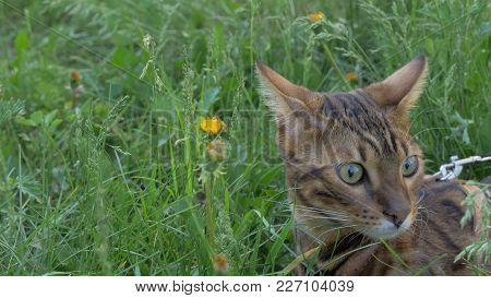 Bengal Cat Walks In The Grass. He Shows Different Emotions. The Cat Is In Shock. His Something Is Ve
