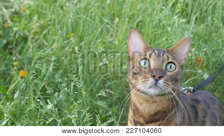 Bengal Cat Walks In The Grass. He Shows Different Emotions. The Cat Looks Up With Interest.