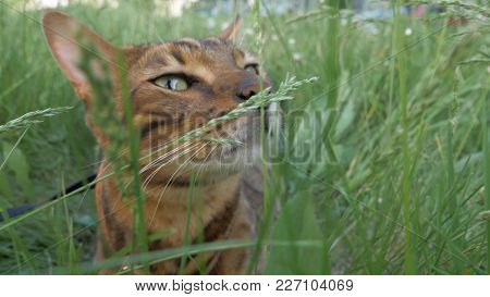 Bengal Cat Walks In The Grass. He Shows Different Emotions. The Cat Enjoys The Fresh Air. Breathes I